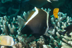 BD-140324-Apo-3674-Heniochus-varius-(Cuvier.-1829)-[Horned-bannerfish].jpg
